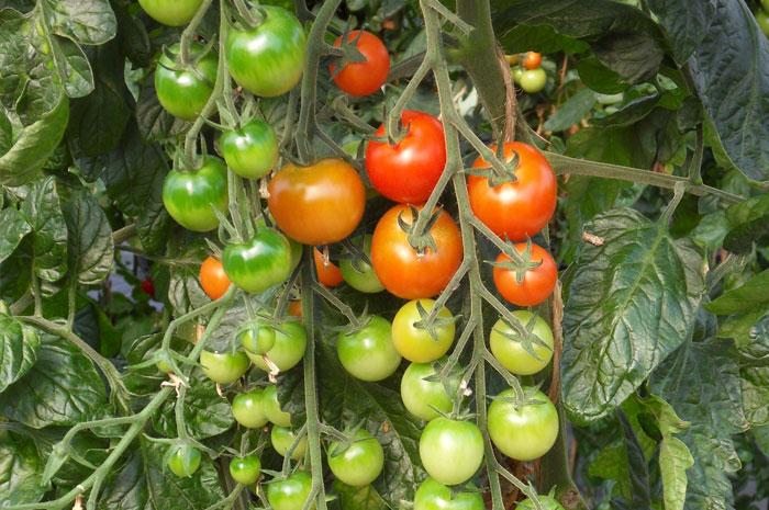 Tomate Dolce Vita