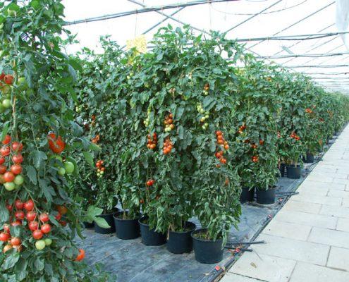 Tomatenhain