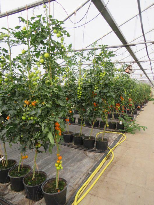 Die Tomaten in Wörme sind reif