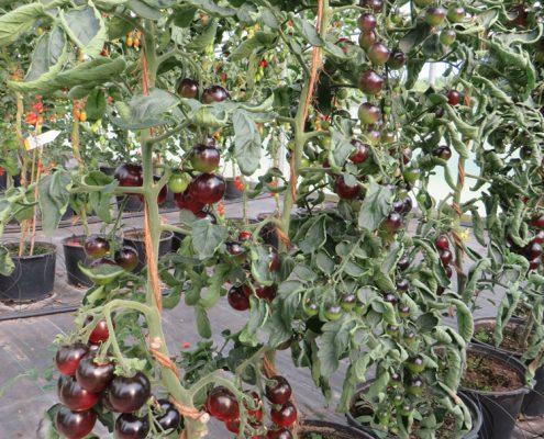 Die Indigo Rose ist eine schwarz violette Tomatenschönheit