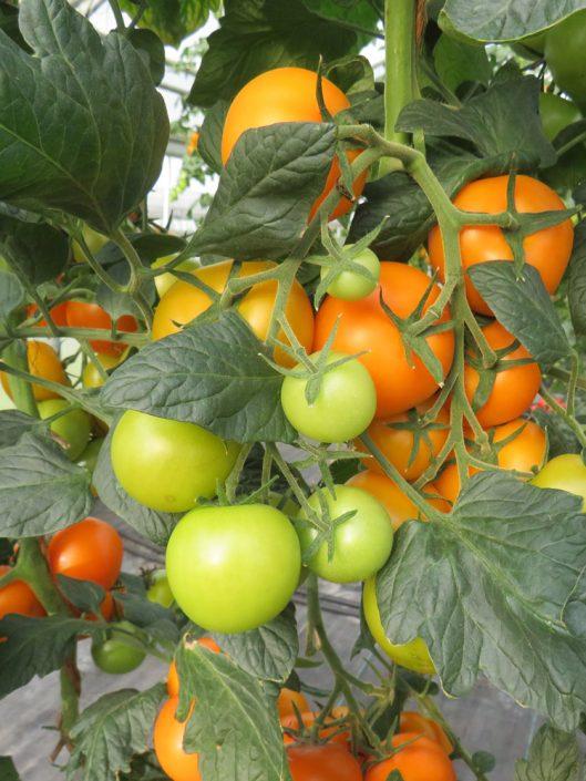 Orangino eine ganz besondere Tomate